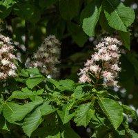 цветок каштана IMG_6491 :: Олег Петрушин