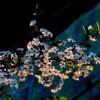 весенняя флора 2- цветущая вишня :: Александр Прокудин
