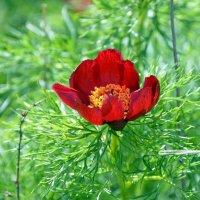 Пион узколистный . Редкий красавец крымских гор. :: Ольга Голубева