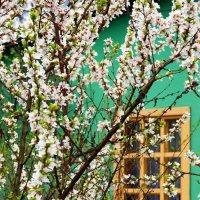 Слива цветёт :: san05 -  Александр Савицкий