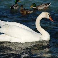 Лебедь :: Наталья Каракуца