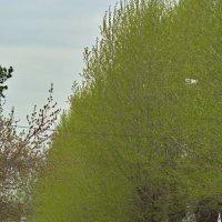 Как нравится мне, когда листва ещё нежно-зелёная... :: Михаил Полыгалов