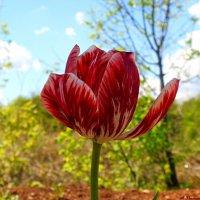 Про тюльпанную феерию.. :: Андрей Заломленков