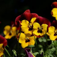 Радостью лучатся –цветом ярким, сочным... :: Татьянка *