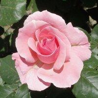 Роза :: Марина Чайкина