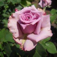 Первые розы мая.Просто прекрасная .... :: Галина