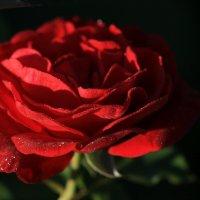 Утренняя роза :: ZNatasha -