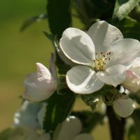 Каждый раз когда вижу это цветение... :: Владимир Гилясев