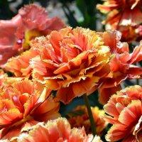Необычные тюльпаны, похожие на гвоздику. :: Ольга Голубева