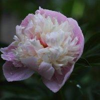 Розовый пион :: Юрий Гайворонский