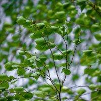 Зеленый ветер :: Татьяна Губина