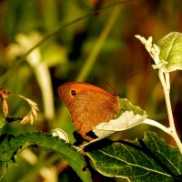 про бабочек - сенница 4 :: Александр Прокудин