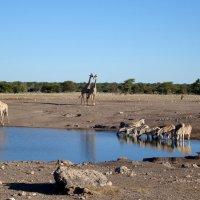 Национальный парк Этоша. Намибия :: Tatiana Belyatskaya