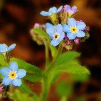 Незабываемые цветочки :: Валентина Пирогова