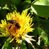 Пчёлка :: Светлана