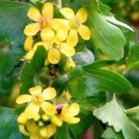 цвет лесной смородины :: Светлана