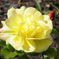 желтая роза :: Сергей Беличев