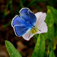 про бабочек 2 - обед голубянки :: Александр Прокудин