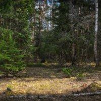 По весеннему лесу :: Алексей (GraAl)