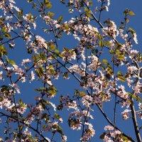 Майские ветви :: Aнна Зарубина