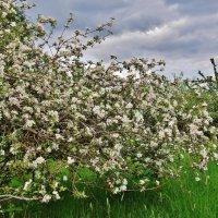 Когда цветут сады.. :: Aida10