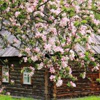 Когда яблони цветут... :: Нина Бурченкова.