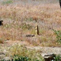 Суслики - маленькие зверьки величиной с хомяка. :: Anna Gornostayeva
