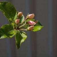 яблони в цвету :: Елена