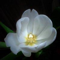 Тюльпан в сумерках :: Ирина Via