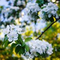 Цветы яблони. :: Андрей Гриничев