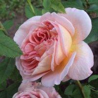 Розовый сад :: Елена