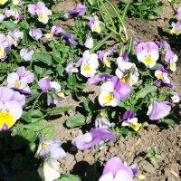 Лютики-цветочки :: Ольга Васильева