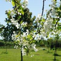 Один раз в год сады цветут... :: Елена Павлова (Смолова)