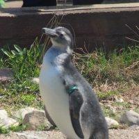 Пингвин :: Дмитрий Солоненко