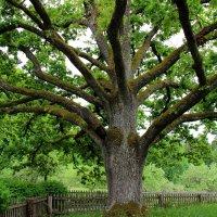 У Лукоморья дуб зелёный... :: Нина Бурченкова.