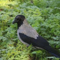 Ворона на прогулке :: Наталья Герасимова