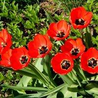 Весенний салют тюльпанов ... :: VALENTINA NADSON