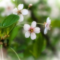 Цветок боярышника :: Виталий