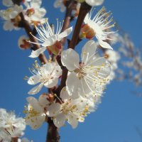 Абрикосовая весна :: Стас Борискин (Stanisbor)
