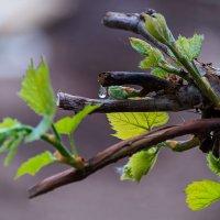 Слеза виноградной лозы :: Владимир Максимов