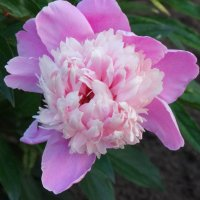 Пиона нежный аромат... :: Тамара (st.tamara)