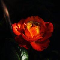 Таинственная роза... :: Юрий Гайворонский