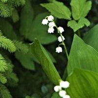 Ландыши цветут :: Фиклеев Александр