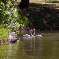 Пейзаж с лебедями. :: barsuk lesnoi