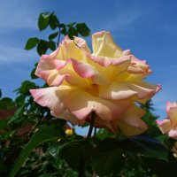 И вновь благоухают розы... :: Galina Dzubina