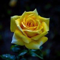 жёлтая роза :: Игорь