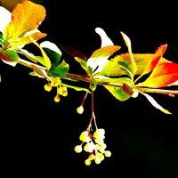 Цветок барбариса :: Владислав Карпович