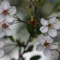 Вишня цветет :: Наталья Герасимова