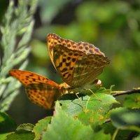 Разговор бабочек :: Алексей (GraAl)