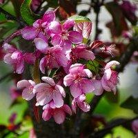 Майское цветение :: Милешкин Владимир Алексеевич
